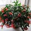 Кактус Schlumbergera Sunset Dancer