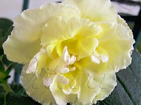 'Yellow English Rose'
