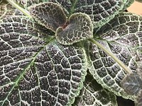 Episcia Tiger Stripe (НОВИНКА каталога)