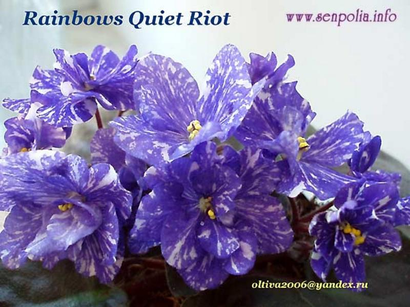 фиалка фото rainbow s quiet riot