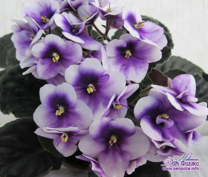 Purple-cloud (НОВИНКА каталога)    Сенполия.  Селекция: Humako
