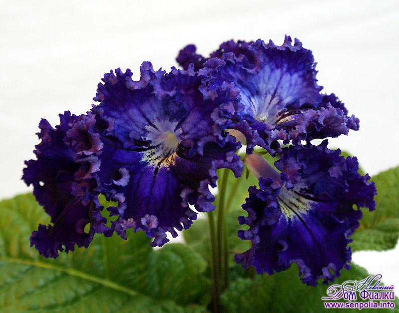 Стрептокарпус цветок пандоры