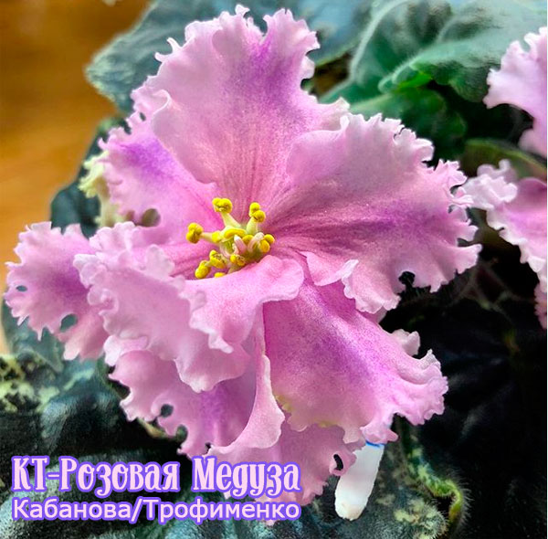В прибрежных водах Филиппин появились тысячи розовых медуз ... | 590x600